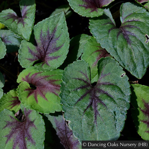 Perennials ~ Viola 'Heartthrob', Heartthrob Hardy Violet ~ Dancing Oaks Nursery
