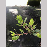 Shrubs ~ Arctostaphylos 'White Lanterns', Manzanita ~ Dancing Oaks Nursery and Gardens ~ Retail Nursery ~ Mail Order Nursery