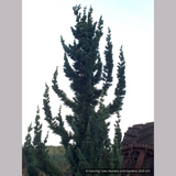 Shrubs ~ Chamaecyparis lawsoniana 'Wissel's Saguaro', Wissel's Saguaro Cypress ~ Dancing Oaks Nursery and Gardens ~ Retail Nursery ~ Mail Order Nursery