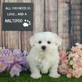 JennyGems - All You Need is Love and a Maltipoo - Wood Stand up Sign - Maltipoo Mom - Maltipoo Dog Gifts