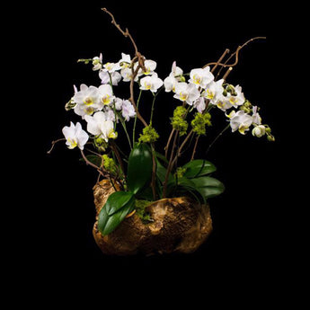 Hand carved burl root container with white small petal phalaenopsis