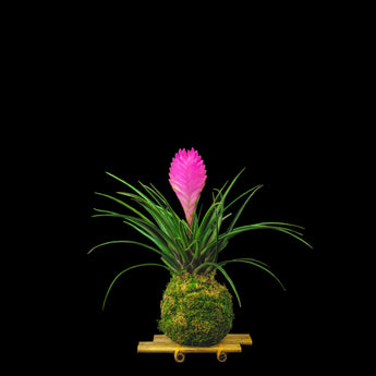 Moss ball with bromeliad - Cyanea anita on bamboo stand