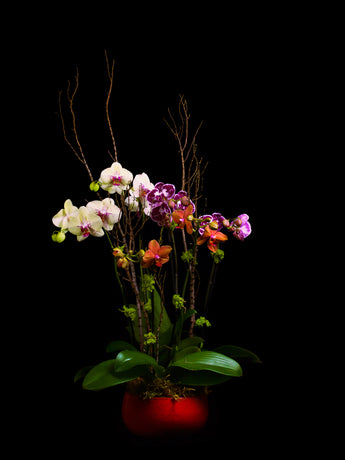 6 stems 3 color mixed phalaenopsis in red ceramic container.