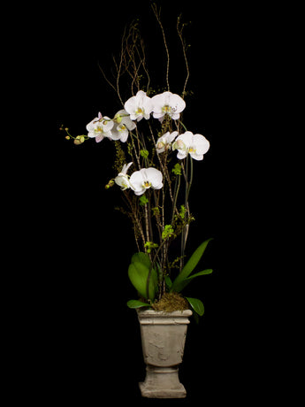 4 stems white phalaenopsis with ceramic urn.