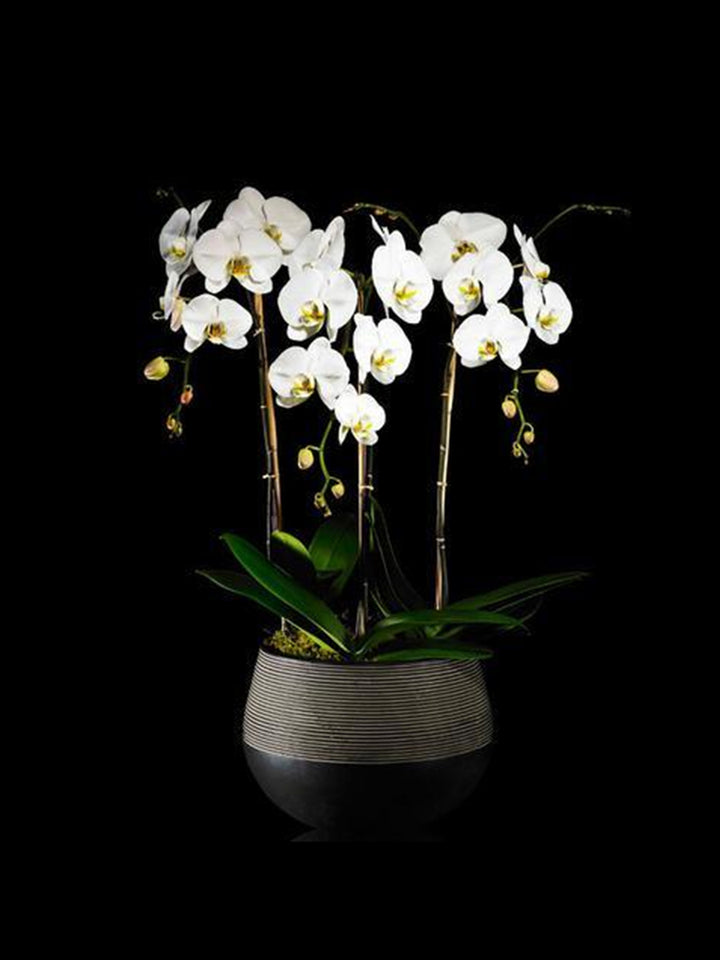 4 stems cascading white Phalaenopsis Orchis in a clean modern ceramic container.