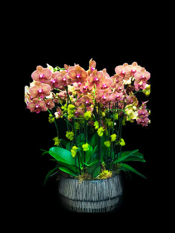 20 stems orange phalaenopisis with contemporary container.