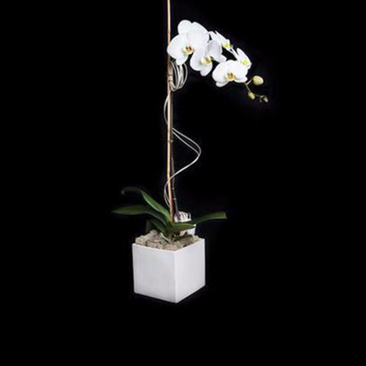 Single cascading white phalaenopsis in a white cube.