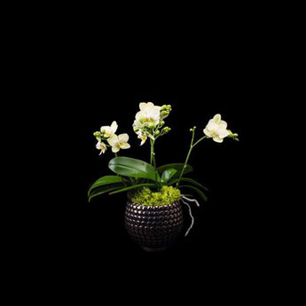 4 stems small green phalaenopsis in spec pot.