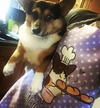 """I Loaf Your Buns"" Corgi Apron 