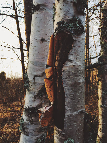 OVERSHARE Series photograph by Ottawa Artist Julia Martin of a birch tree in fall