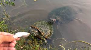 Why You Should Never Try to Feed Bass and Turtles At the Same Time