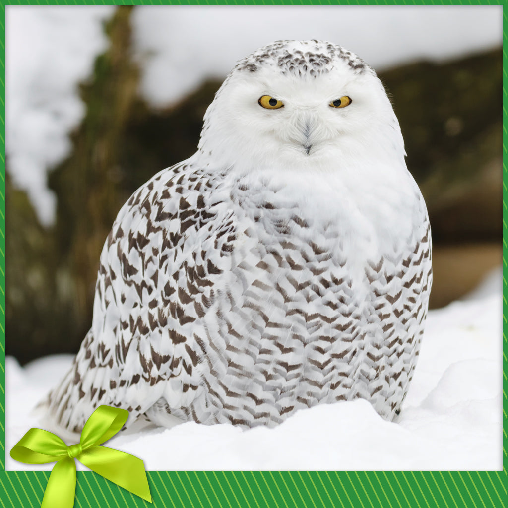 Snowy Owl Nature Conservancy Of Canada