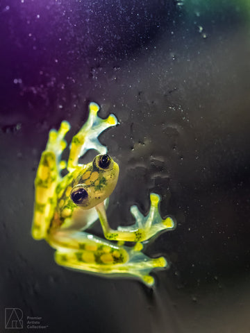 Glass Frog - Bobby Tan