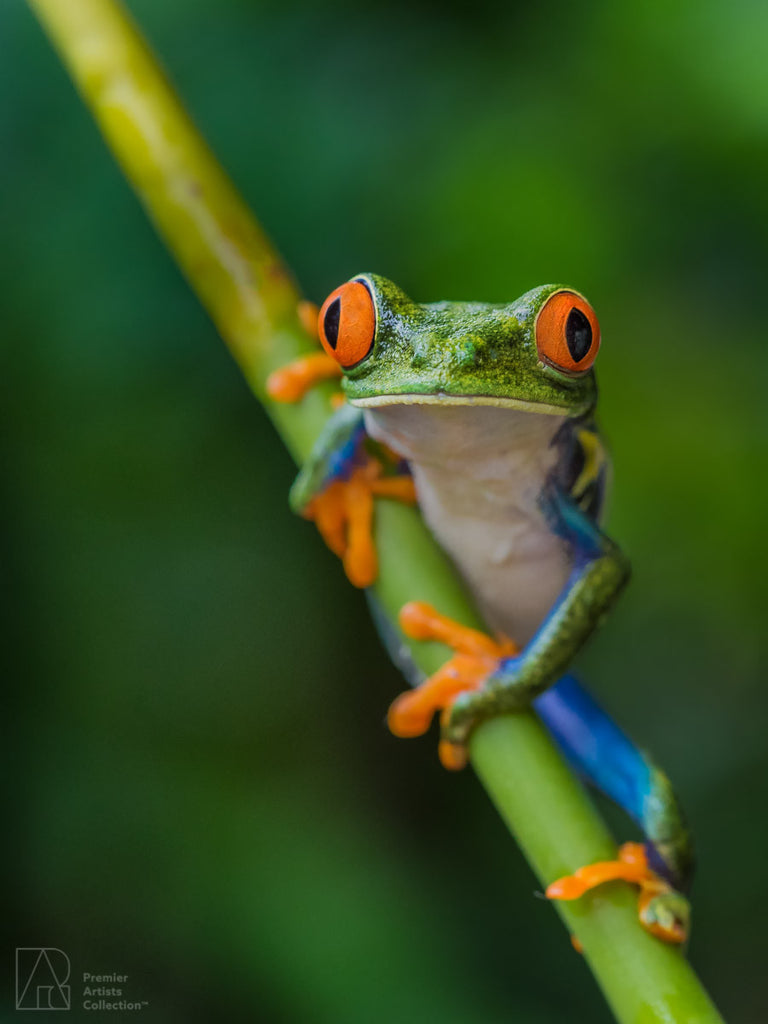 Red Eyed Tree Frog Facts For Kids: Information, Pics & Video