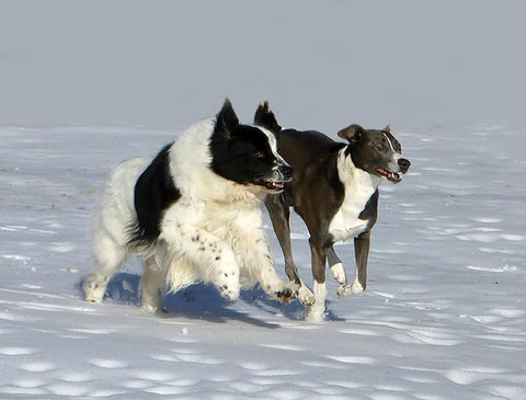 two dogs running on snow