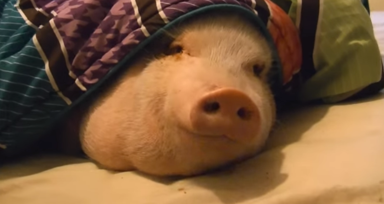 LITERALLY A PIG IN A BLANKET