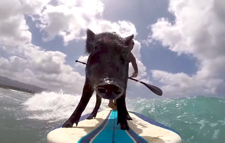 WHEN PIGS SURF