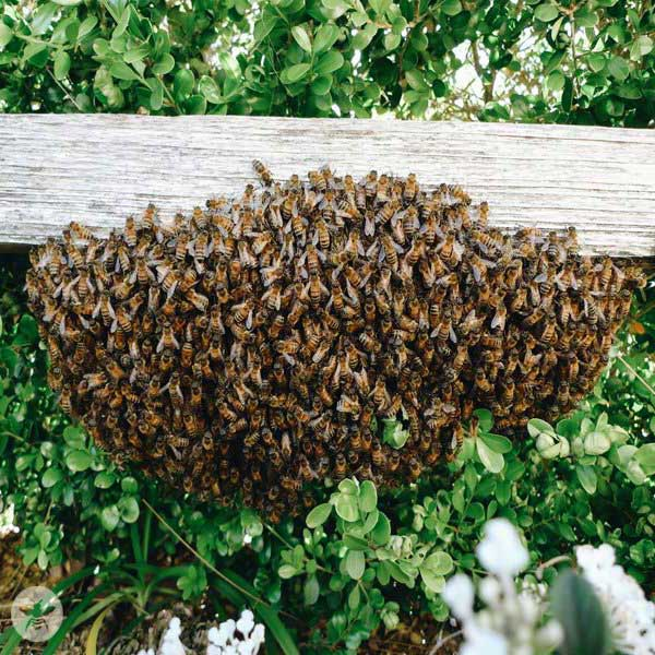 Big Moon Beeswax recommends hiring a beekeeper to relocate a bee swarm.