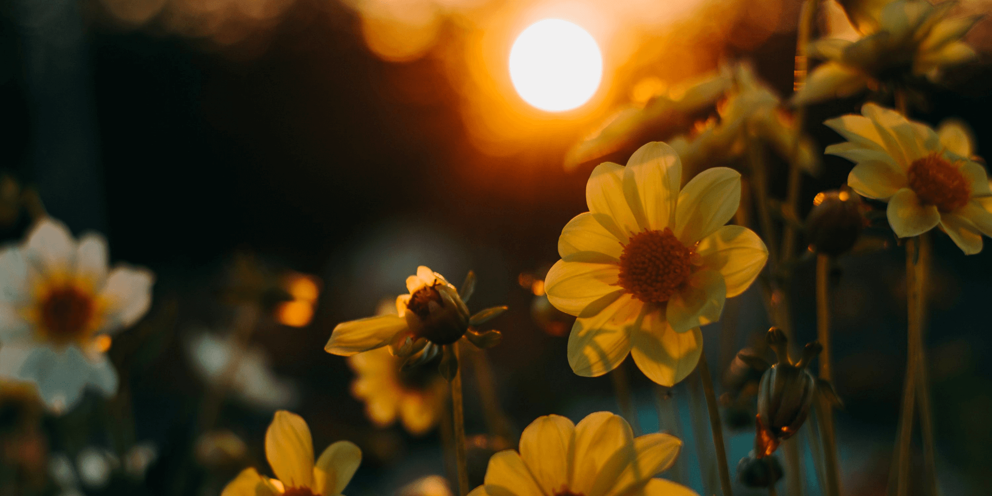 Daffodils in the sunset