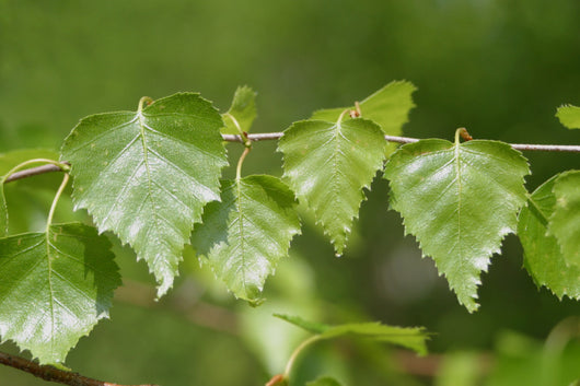 Birch Leaf- Liść Brzozy