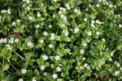 Chickweed - Gwiazdnica