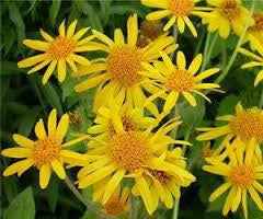 Arnica Flower - Arnika Kwiat