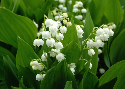 Lilly of  the Valley - Konwalia