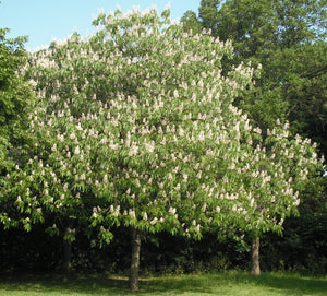 INDIAN HORSE CHESTNUT (AESCULUS INDICA)