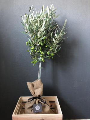 Open image in slideshow, OLIVE TREE (Olea europaea) TWO SIZES