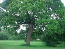 OAK TREE (QUERCUS PETRAEA)
