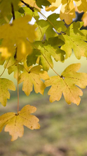 FIELD MAPLE TREE (ACER CAMPESTRE)