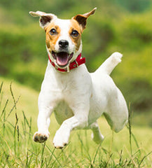 Jack Russell Terrier dog active breed