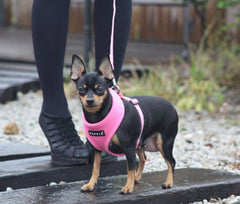 harness on chihuahua dog