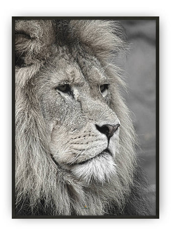 SAVANNAH LION