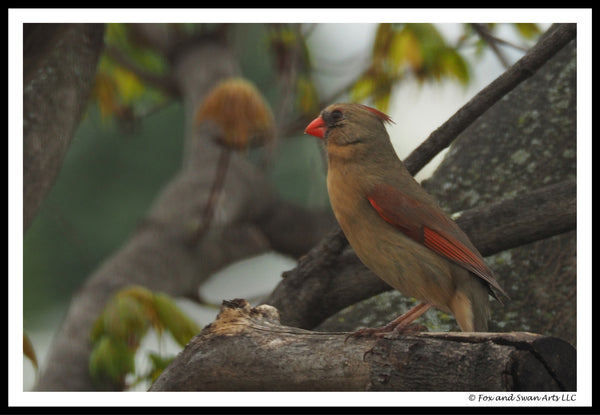 Blank Greeting Card - Cardinal01