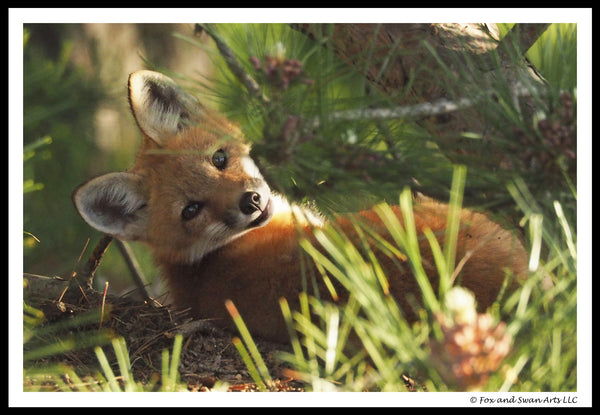 Blank Greeting Card - Fox01