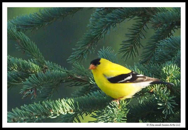 Blank Greeting Card - Goldfinch01
