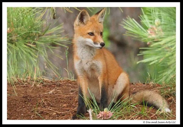 Blank Greeting Card - Fox02