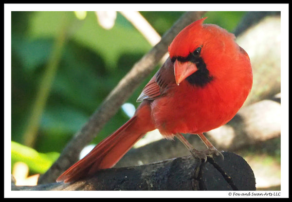 Blank Greeting Card - Cardinal03