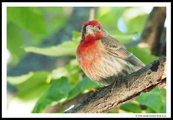 Blank Greeting Card - Purplefinch03