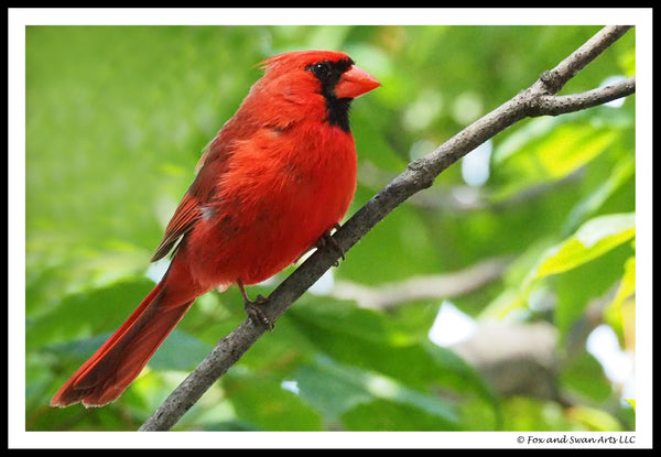 Blank Greeting Card - Cardinal04