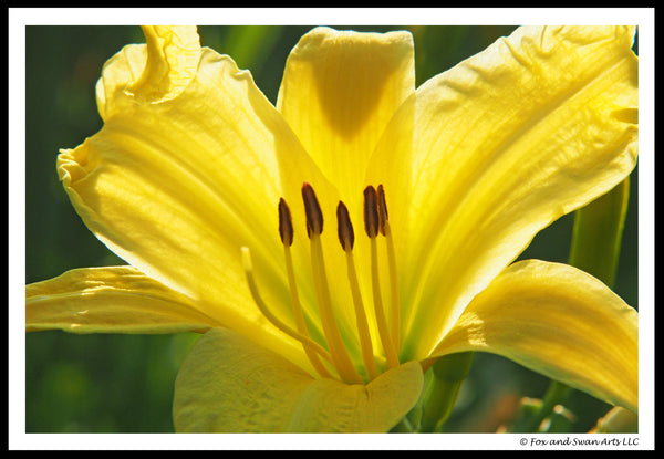 Blank Greeting Card - YellowLily04
