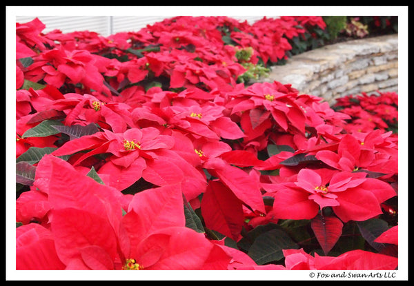 Blank Seasonal Card - Poinsettia02