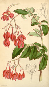 Botanical Print Of Red Flowers. 1847 This Is A Plate From Curtis's Botanical Ma