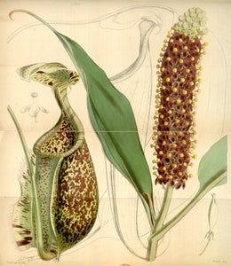 Botanical Print Of Unidentified Pitcher Plant