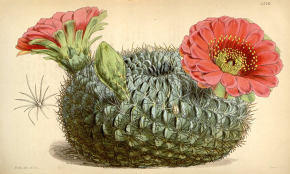 Botanical Print Of Unidentified Cactus