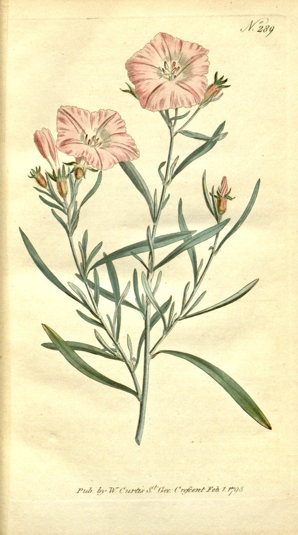 Botanical Print Of Convolvulus Lineatus