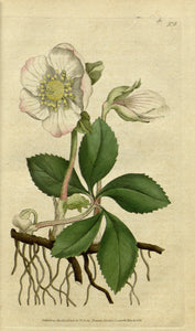 Botanical Print Of White Flower