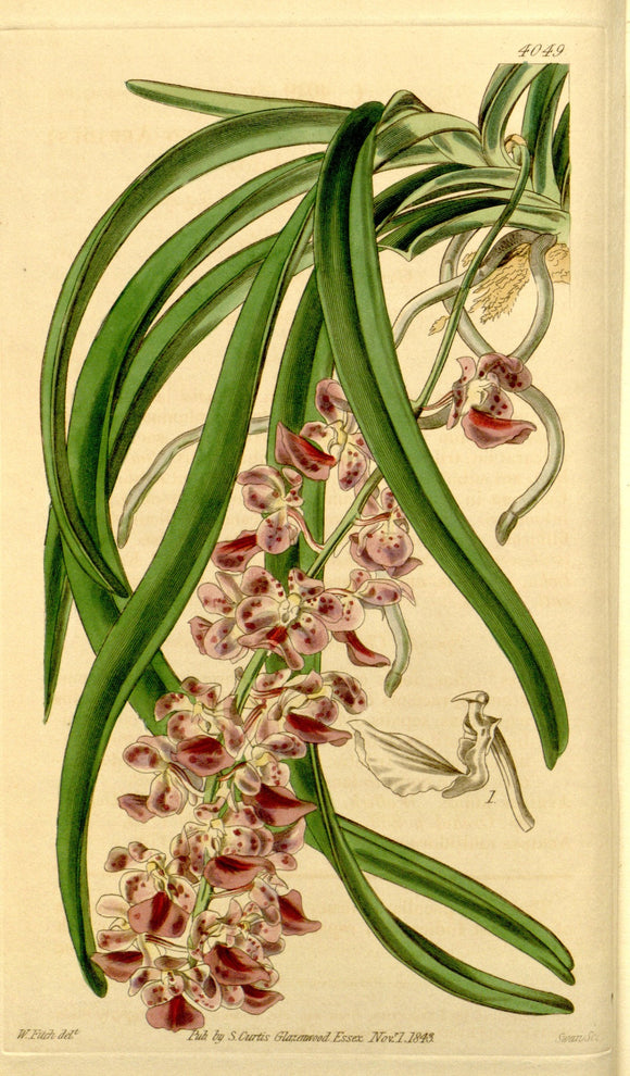 Botanical Print Of Aerides Multiflora