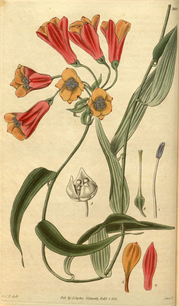 Botanical Print Of Orange And Red Flowers. 1831 Bomarea Acutifolia (Link & Otto)